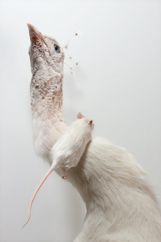 Pavo et Mus musculus